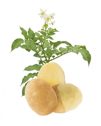 Lady Alicia Potato